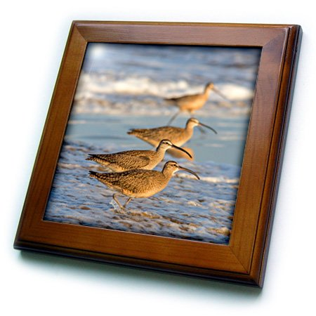 3D Rose Whimbrel Shorebirds Foraging Pismo Beach-California-USA Framed Tile, 8
