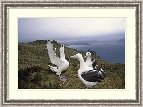 framed-art-print-southern-royal-albatross-gamming-group-courting-campbell-island-new-zealand-by-tui-