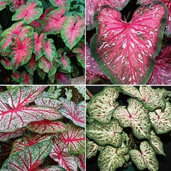 (Caladium Tropical Mix( 12 Bulbs) Rich red foliage with contrasting green borders)