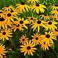 Outsidepride Rudbeckia Hirta Black-eyed Susan - 5000 Seeds