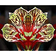 Alstroemeria psittacina   Peruvian lily   Parrot flower   10_Seeds