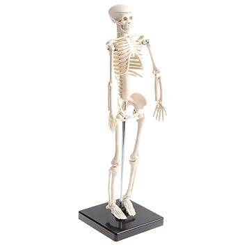 MagiDeal Anatomisches Lernwerkzeug - Menschlicher körper Skeleton ...