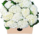 Farm2Door: 15 Fresh White Hydrangeas (Naturally Colored) from Colombia - Farm Direct Wholesale Fresh Flowers
