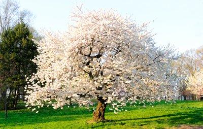 Autumn Cherry Tree (Autumn Cherry Tree- Enjoy Unique Flowers in the Fall)