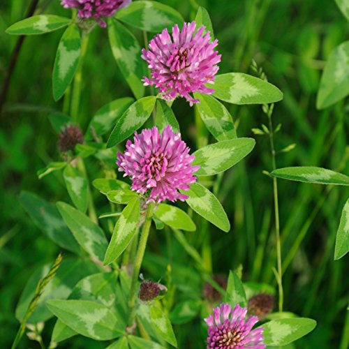Outsidepride Red Clover Seed: Nitro-Coated, Inoculated - 2 LBS