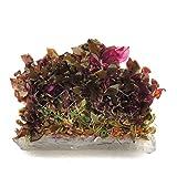 SubstrateSource Alternanthera reineckii Telanthera Cardinalis Roseafolia Live Aquarium Plant - Tissue Culture