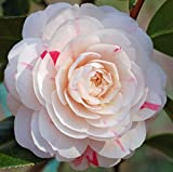 April Dawn Camellia Japonica ( Zone 6 ) - Live Plant - Quart Pot