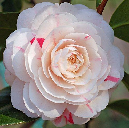 April Dawn Camellia Japonica ( Zone 6 ) - Live Plant - Quart Pot by Amazing Plants