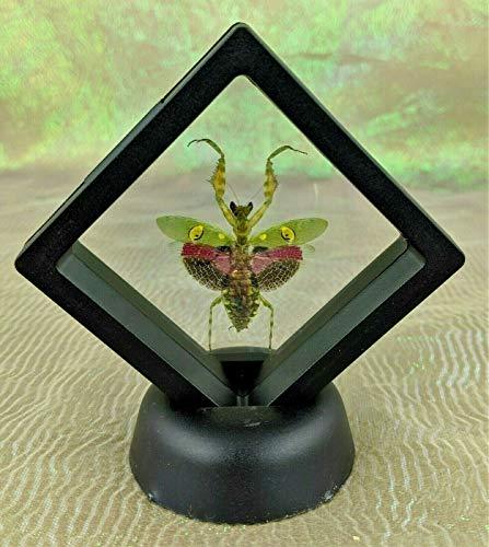 Taxidermy Entomology Jewel Praying Mantis Framed Display Collectible Specimen