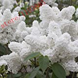 Best Garden Tools 100pcs White Japanese Lilac Seeds (Extremely Fragrant) clove flower seeds for home & garden