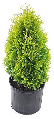 Thuja occidentalis 'Jantar' (Arborvitae) Evergreen