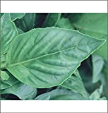 HEIRLOOM NON GMO Nufar Basil 100 seeds