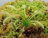 Drosera capensis 'Alba' MEDIUM LIVE Carnivorous Plant Cape Sundew bare root