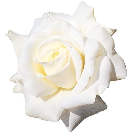 Letizia®, rosaio vivo Rose Barni®, rosa in vaso colore bianco crema ...