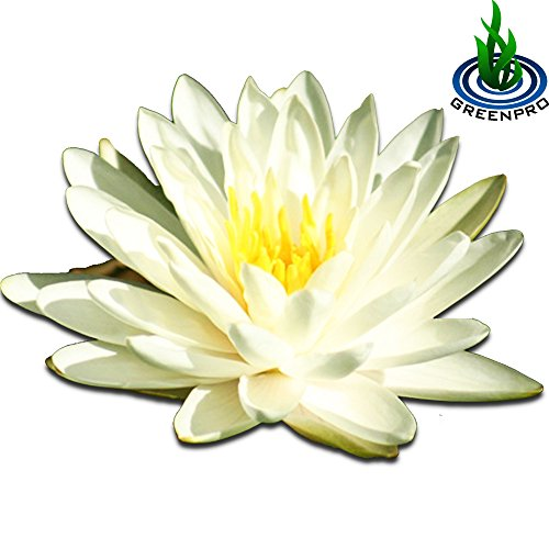 (Nymphaea Denver) Hardy Water Lily Tuber Live Water Plants for Pond Balcony Porch Decorations by Greenpro