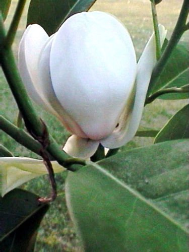 - 5 Sweet Bay Magnolia Seeds Fragrant Flowers