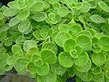 Vicks Plant (plectranthus purpuratus)