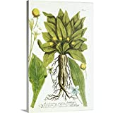 """Great Big Canvas Gallery-Wrapped Canvas Entitled Mandrake Plant, Historical Artwork 16""""x24"""""""