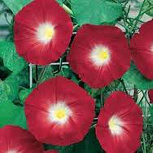 Morning O'hara 100 Organisch Saison Scarlet Plat Lange Blumen Glory Semi Samen Germinazione Firm Als Di Mehr xPwqYBH