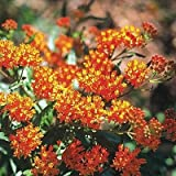 Asclepias tuberosa 72 plants Product USA Butterfly Milkweed FLOWERS Zone 3-9