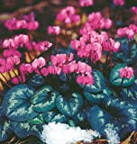 Hardy Red Coum Cyclamen 15 Seeds - Great in the Shade
