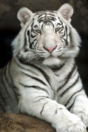 Regal White Tiger Journal: 150 Page Lined - Regal Tiger