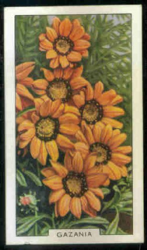 Gazania 1938 Gallaher Cigarettes Garden Flowers #24 (VG) nicked along bottom