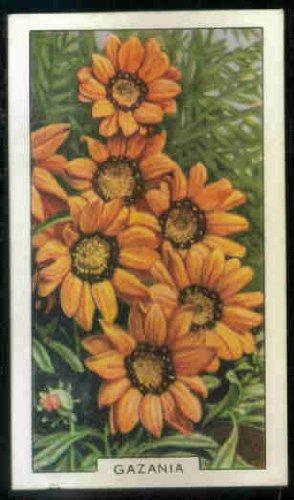 Gazania 1938 Gallaher Cigarettes Garden Flowers #24 (VG) nicked along bottom