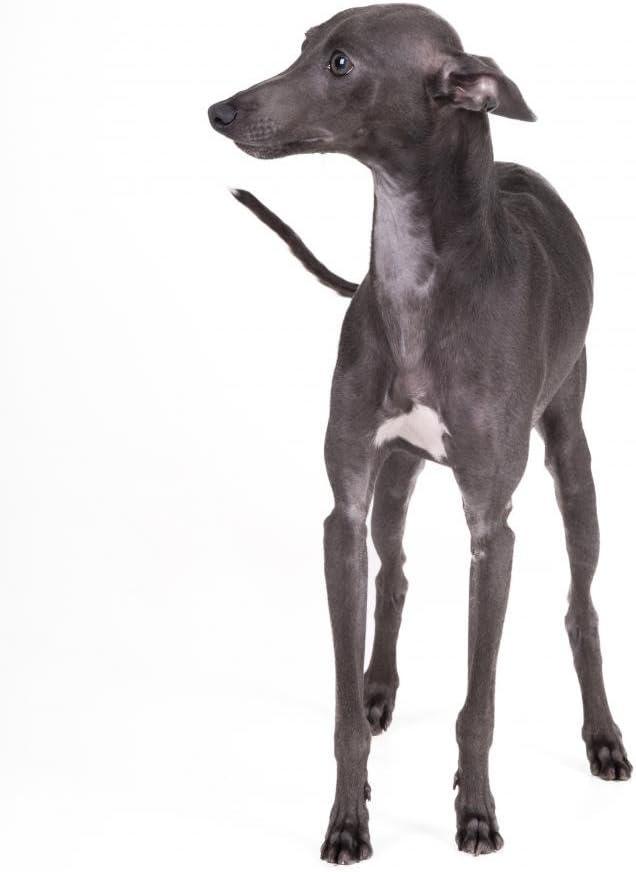 Wallmonkeys Italian Greyhound Gray Wall Decal Peel and Stick Graphic WM231308 18 in H x 14 in W