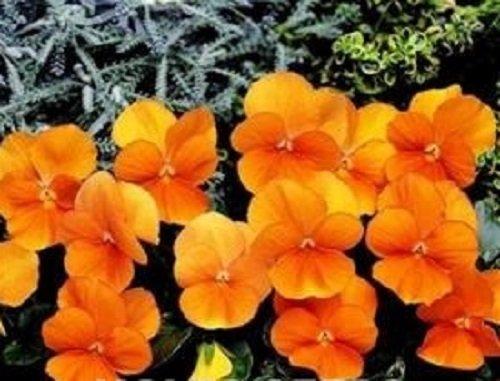 (Viola - Penny Orange - 15 Seeds)