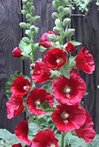 50 HOLLYHOCK COUNTRY ROMANCE MIX Alcea Rosea Flower Seeds