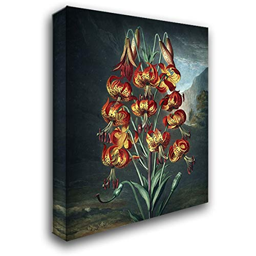 (Superb Lily 28x36 Gallery Wrapped Stretched Canvas Art by Thornton, Dr R)