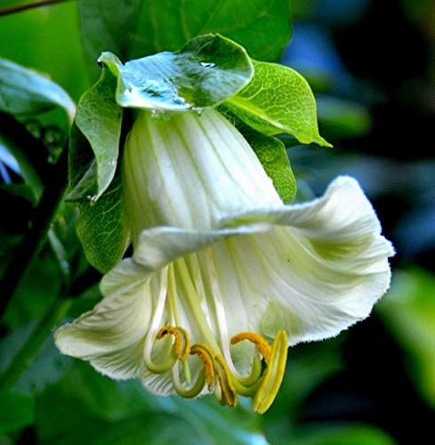 Seeds4planting - Seeds Cup and Saucer Vine Cathedral Bells White - Organic