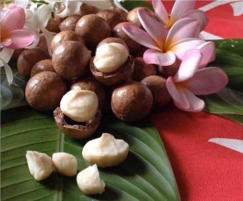 hawaiian-macadamia-nut-tree-plant-3-pot