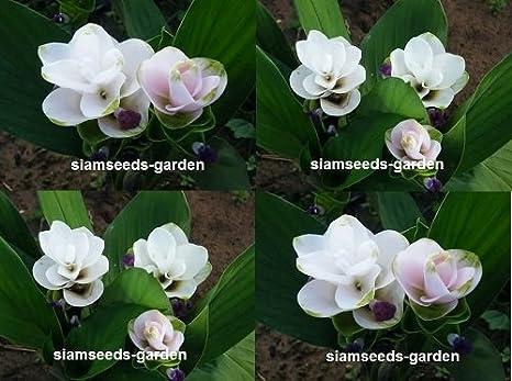 Amazon.com : 5 Plants Bulbs Doitung White Siam Tulip Curcuma ...