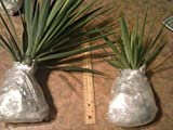 """2 Live Yucca Plants 12"""" Tall Approximately Adams Needle"""