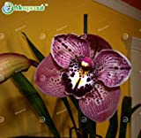 New Leopard Cymbidium 100+ Seeds - 8