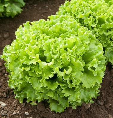 David's Garden Seeds Pelleted Seeds Lettuce Muir D3881P (Green) 100 Organic Seeds