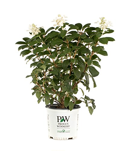 Little Quick Fire Hardy Hydrangea (Paniculata) Live Shrub, White to Pink Flowers, 1 Gallon by Proven Winners