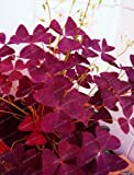 NewRed Oxalis Wood sorrel Flower Oxalis Purple Shamrock Clover 100% Real flower bonsai 100+ seeds