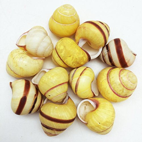 (PEPPERLONELY 12 PC Yellow Banded Snail Sea Shells, 3/4 Inch ~ 1 Inch)