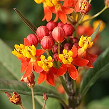 Butterfly Garden USA Red Butterfly Weed Heirloom 25 to 200 Seeds