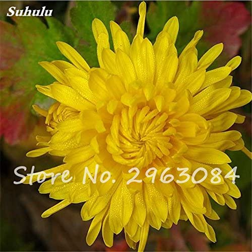 Patio Terraza Bonsai Semilla de crisantemo amarillo cuatro estaciones flores accesorios para el jardín y cabañas, la semilla de flor de semillero 50: Amazon.es: Jardín