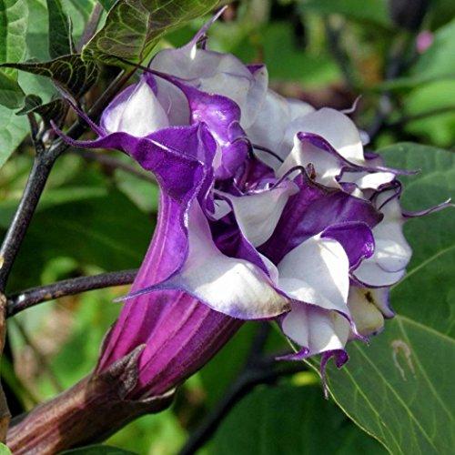 Qenci Datura Seeds, 100pcs/Bag Datura Brugmansia Seeds Potted Bonsai Trumpets Angel Flower Seeds