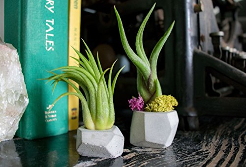 Succulent Air Plant Combo Pack | 5 Succulents and 5 Airplants | Real Live Home Decor House Gift | Indoor Mix Pack | Rooted in Pots by Plants for Pets by Plants for Pets (Image #8)