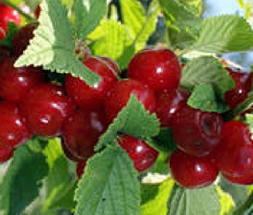 nanking-dwarf-cherry-red-fruit-tree-shrub-bush-edible-berry-hardy-live-plant