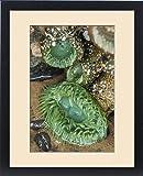 Framed Print of Oceanside, Oregon. Giant green anemone in very low tide pool
