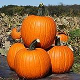 Pumpkin Kratos - Farmore Treated Seeds - Powdery Mildew Tolerant - 10,000 Seeds