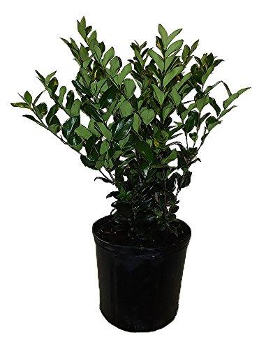 AMERICAN PLANT EXCHANGE Ligustrum Green Live Plant, 3 Gallon, by AMERICAN PLANT EXCHANGE