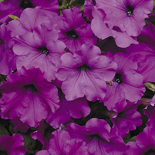 Park Seed Easy Wave Violet Hybrid Petunia (Easy Wave)